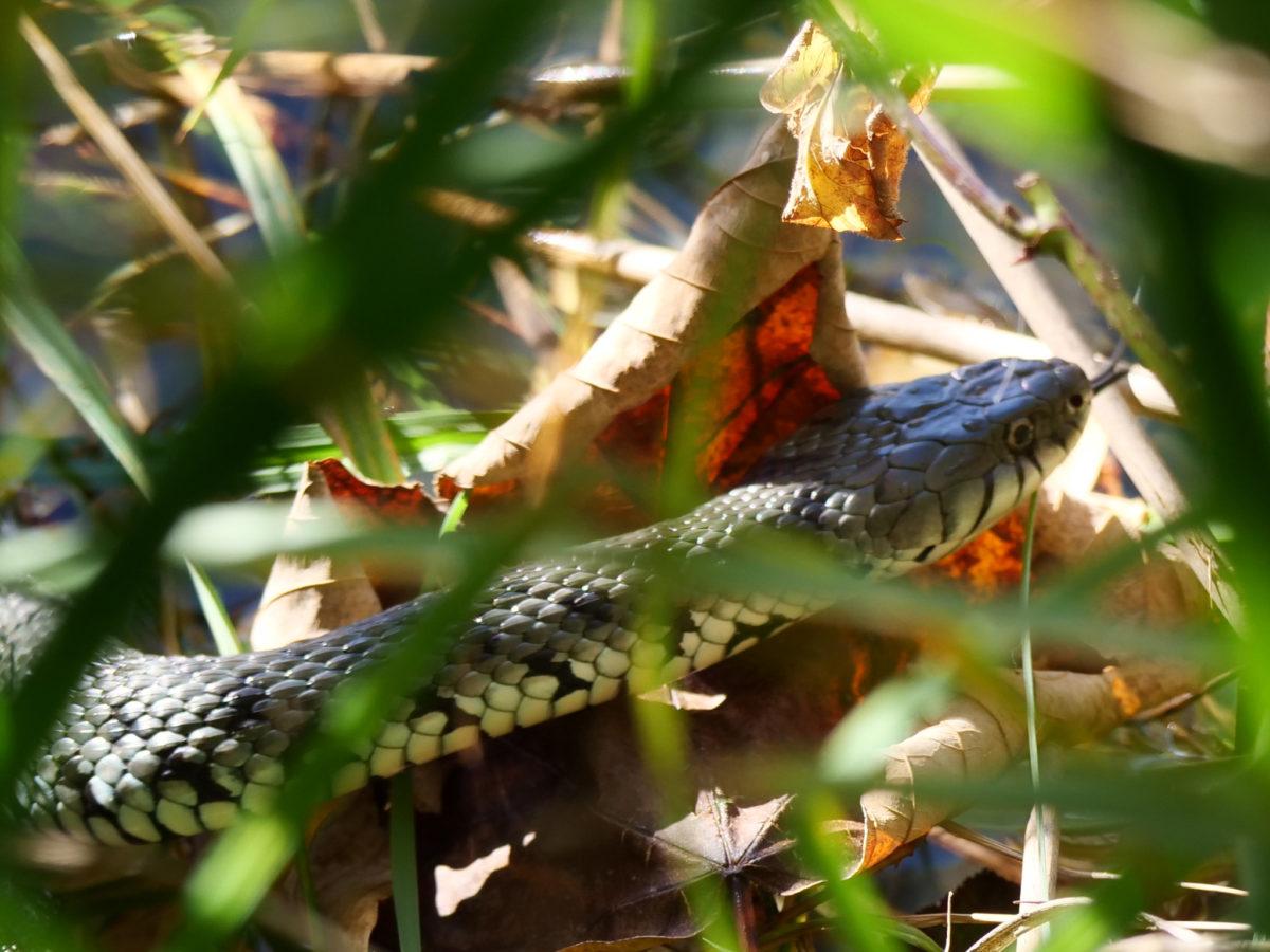 Würfelnatter (Natrix tessellata)