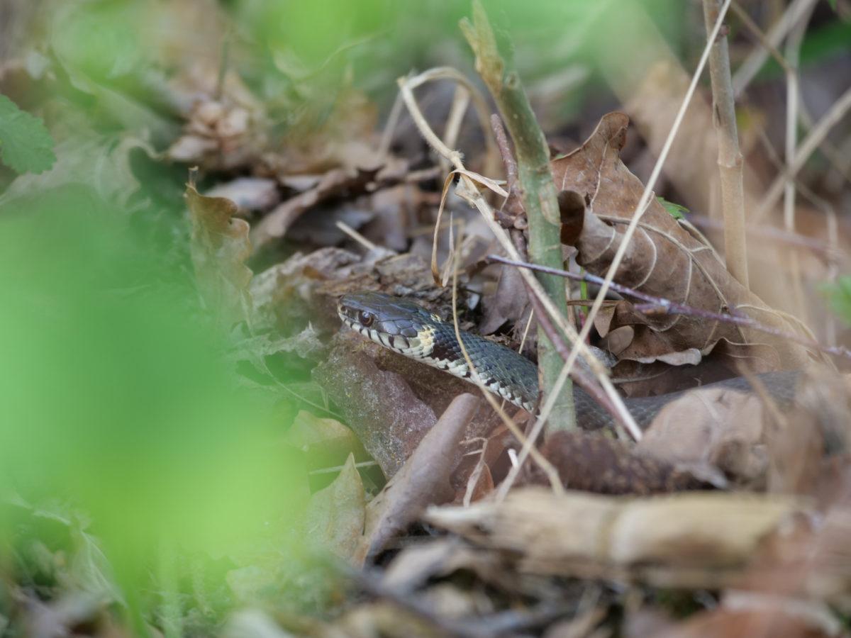 Ringelnatter (Natrix natrix)