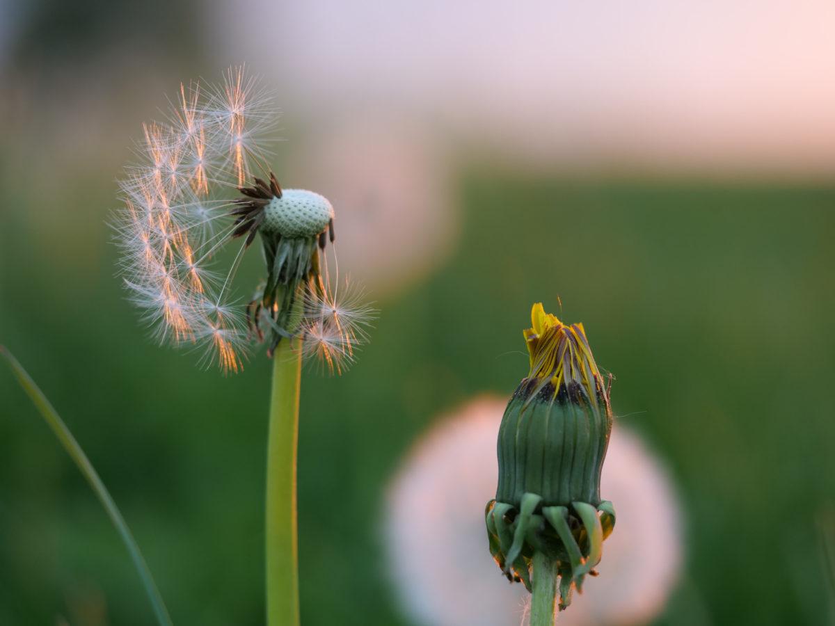 Gewöhnlicher Löwenzahn (Taraxacum sect. Ruderalia) - Pusteblume